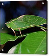 Green Leaf-mimic Katydid Steirodon Acrylic Print