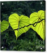 Green Leaves Acrylic Print by William Voon