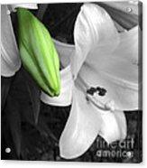 Green Lily Bud Acrylic Print