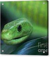 Green Mamba 2 Acrylic Print