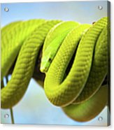 Green Mamba Coiled Up On A Branch Acrylic Print