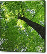 Green Maple Canopy Acrylic Print