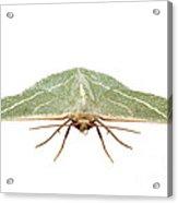 Green Moth Chlorissa Etruscaria Acrylic Print
