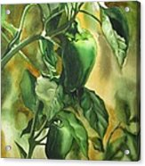 Green Peppers From Our Garden Acrylic Print