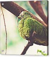 Green Pigeon Acrylic Print
