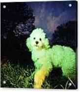 Green Poodle Acrylic Print