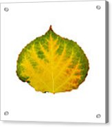 Green Red And Yellow Aspen Leaf 2 Acrylic Print