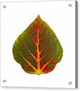 Green Red And Yellow Aspen Leaf 4 Acrylic Print