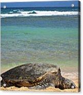 Green Sea Turtle - Kauai Acrylic Print