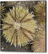 Green Sea Urchins Acrylic Print