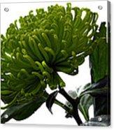 Green Shamrock Chrysanthemum. Acrylic Print