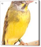 Green Singing Finch Crithagra Mozambicus Acrylic Print
