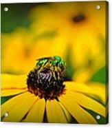 Green Sweat Bee Acrylic Print