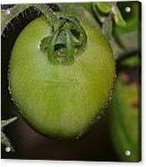 Green Tomato Acrylic Print