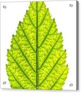 Green Tree Leaf Acrylic Print by Elena Elisseeva