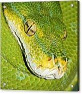 Green Tree Python #2 Acrylic Print
