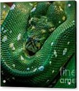 Green Tree Python Curled Acrylic Print