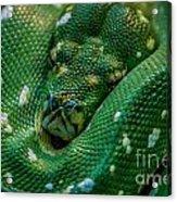 green tree python Macro Acrylic Print