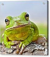 Green Treefrog Acrylic Print