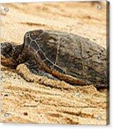 Green Turtle 3 Acrylic Print