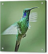 Green Violetear Hummer Beauty Acrylic Print