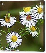 Green Wasp And Daisies Acrylic Print