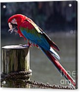 Green-winged Macaw Acrylic Print