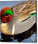 Green Winged Teal  Duck  Acrylic Print