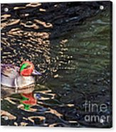 Green-winged Teal Acrylic Print