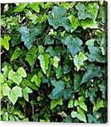 Green With Ivy Acrylic Print