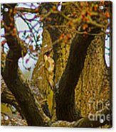 Green Woodpecker Richmond Park Acrylic Print