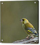 Greenfinch Acrylic Print