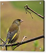 Greenfinch Acrylic Print by Peter Skelton