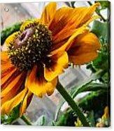 Greenhouse Daisy Acrylic Print