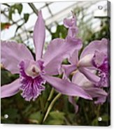Greenhouse Ruffly Orchids Acrylic Print