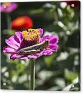 Greeting Grasshopper  Acrylic Print