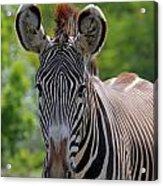 Grevy Zebra Acrylic Print