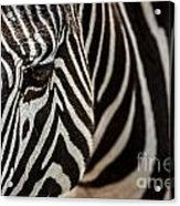 Grevy's Zebra 4 Acrylic Print