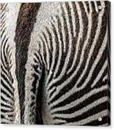 Grevy's Zebra 5 Acrylic Print
