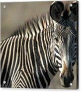 Grevys Zebra Standing In Plains Kenya Acrylic Print