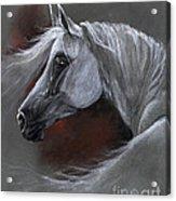 Grey Arabian Horse Soft Pastel Drawing 13 04 2013 Acrylic Print