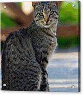 Grey Cat Acrylic Print