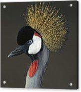 Grey Crowned Crane Portrait Acrylic Print