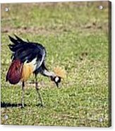 Grey Crowned Crane. The National Bird Of Uganda Acrylic Print