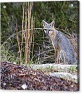 Grey Fox At Rest Acrylic Print