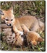 Grey Fox Kitts At Play Acrylic Print
