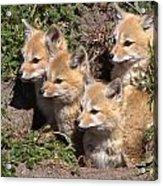 Grey Foxes At Den Acrylic Print