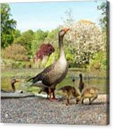 Grey Geese And Goslings Acrylic Print