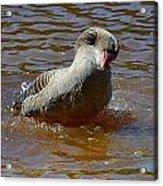 Grey Goose Acrylic Print