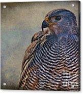 Grey Hawk Acrylic Print